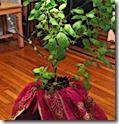 Tulasi plant