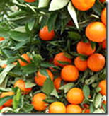 [tree with fruits]
