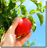 [picking apples]