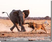 [elephant and lion]