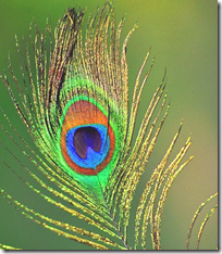 [Peacock feather]
