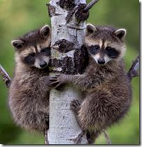 [raccoons]